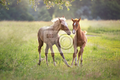 Two foals run and fun at sunlight on meadow