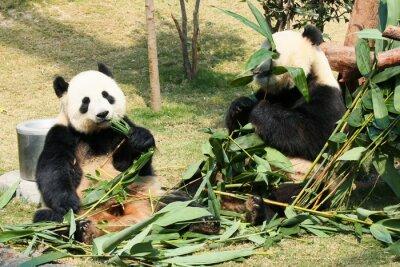 Two giant pandas eating bamboo