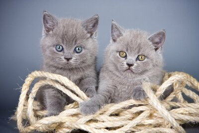 Wall mural Two gray kitten British and rope on a gray background