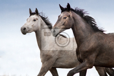 Two horse braided portrait in motion against blue sky