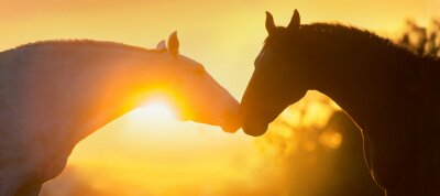 Two horse portrait silhouette at sunset light