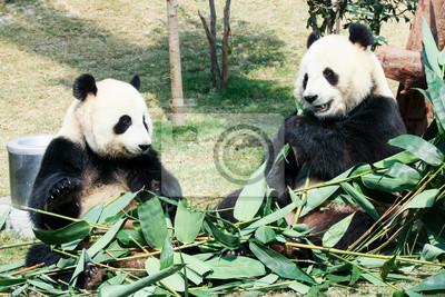 Two pandas eating bamboo