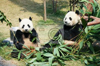 Wall mural Two pandas eating bamboo
