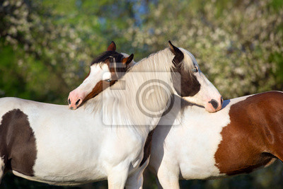 Two pinto horse communicated in spring garden