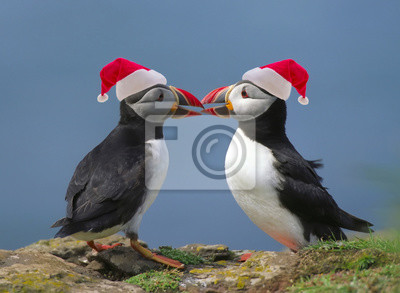 Two puffins with Santa's red hats