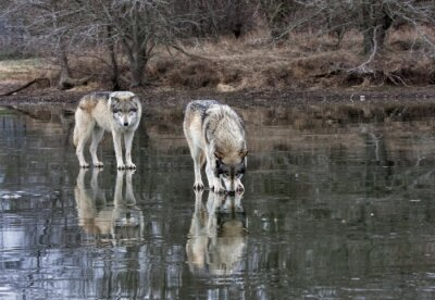 Two Wolves on a Frozen Lake