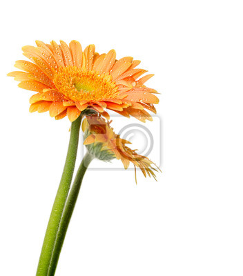 Two yellow gerbera flowers with drops of water isolated on white