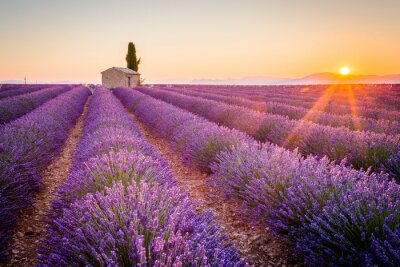 Wall mural Valensole, Provence, France. Lavender field full of purple flowers