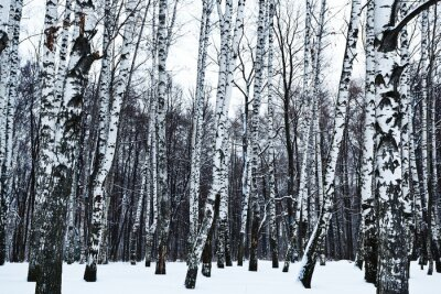 Wall mural view of snowy birch forest in winter