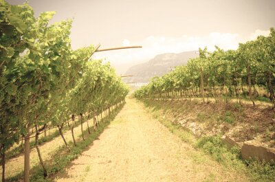 Wall mural Vineyard landscape of Italy.