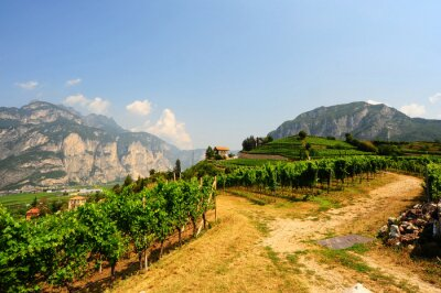 Wall mural Vineyards of the Italian Alps