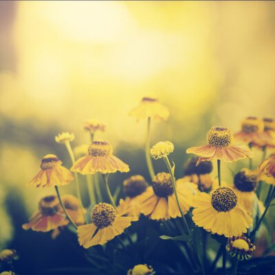 Wall mural Vintage photo of field of yellow flowers in sunset