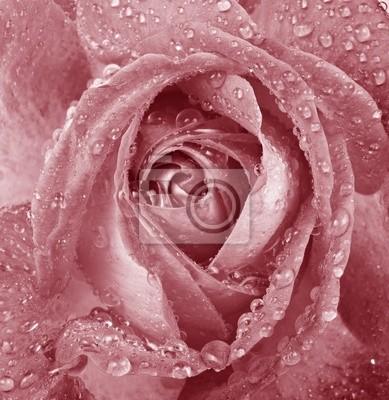 Wall mural vintage pink rose