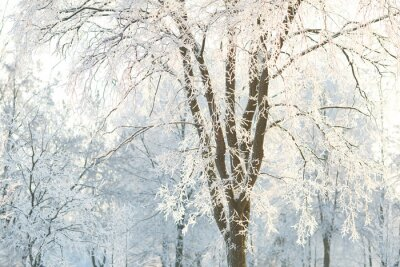 Wall mural Wallpapers trees with frosted tree branches on a winter day