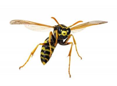 wasp isolated on white