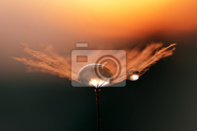 Water drops on a dandelion seeds close up. Morning dew at sunrise. Nature background.