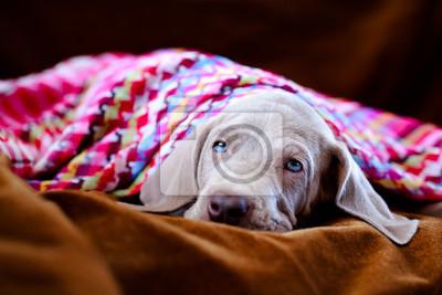 weimaraner blue puppy indoor portrait