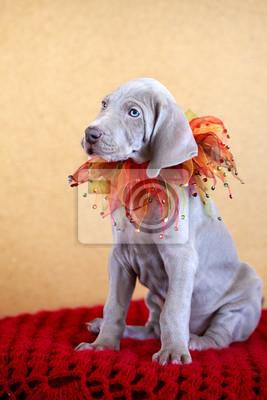 Wall mural weimaraner blue puppy indoor portrait