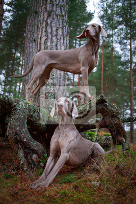 Wall mural weimaraner dog and dry tree