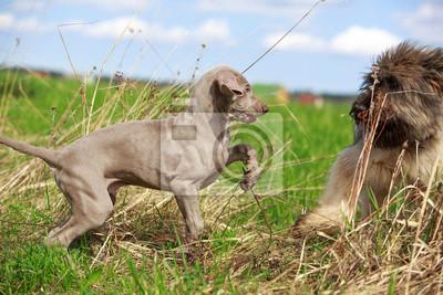 wemaraner and briard puppy