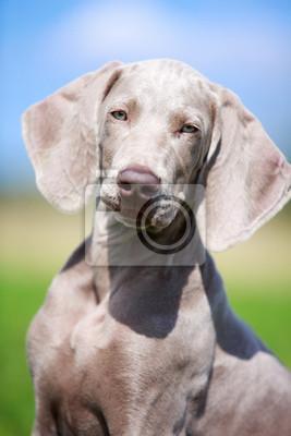 wemaraner puppy in field