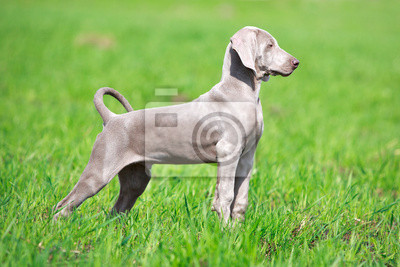 Wall mural wemaraner puppy in field