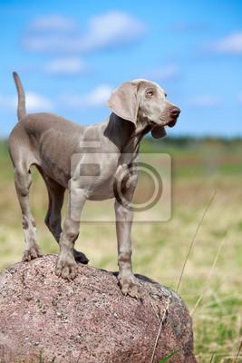 wemaraner puppy portrait