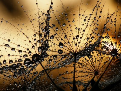 Wall mural wet dandelion seed