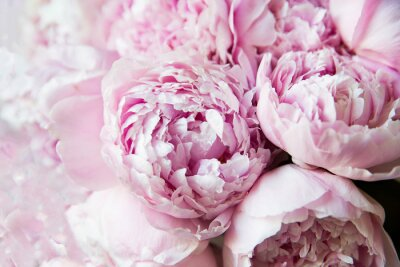 Wall mural White and pink peonies. Background, wallpaper..