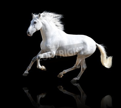 Wall mural White Andalusian horse isolated on the black