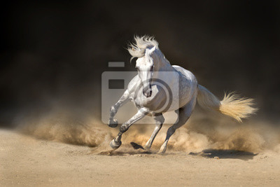 White andalusian stallion in dust against dark background