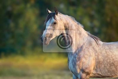 White arabian horse portrait at sunrise light