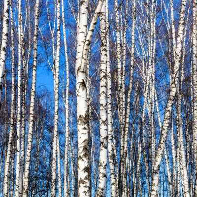 Wall mural white birch trunks and blue sky