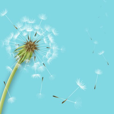 Wall mural White dandelion with pollens isolated
