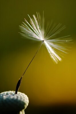 Wall mural white flowering dandelion on green background, detail and macro photography dandelion seed