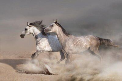 White  horse herd  galloping on sandy dust