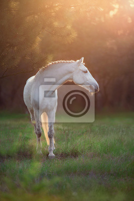 White horse in forest at sunset sunlight
