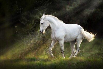 White horse make piaff on sunlight