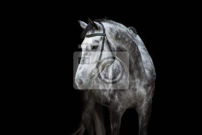 White Horse portrait in bridle isolated on black background