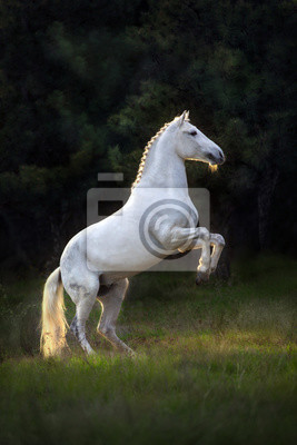 White horse rearing up at sunset light
