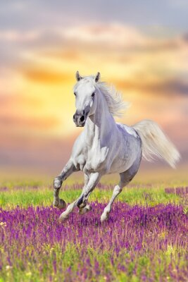 White horse run gallop in flowers against sunset sky