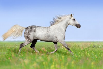 Wall mural White horse trotting on summer meadow