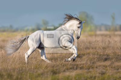 White lusitano horse run in autumn field