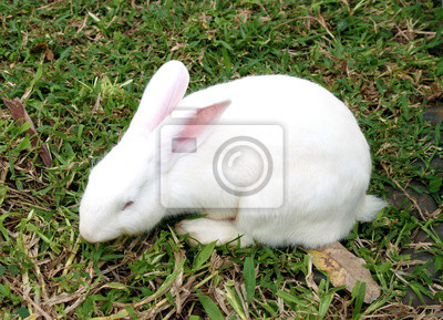 Wall mural White rabbit in a green grass