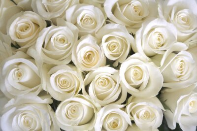 Wall mural White roses background
