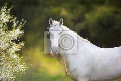 White stallion in spring blossom tree