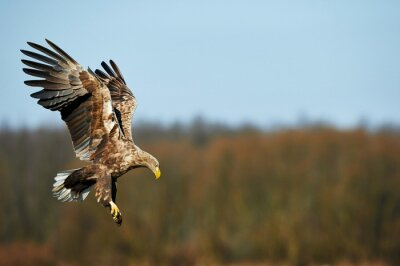 Wall mural White-tailed eagle