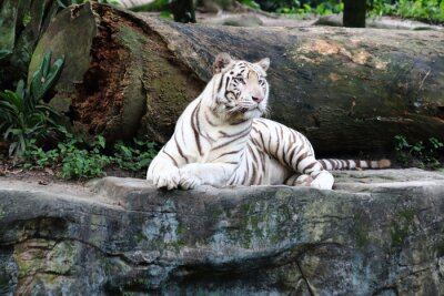 Wall mural White Tiger 4