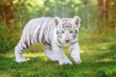 Wall mural white tiger cub walking outdoors