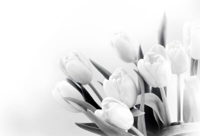 Wall mural White tulips on white background bw